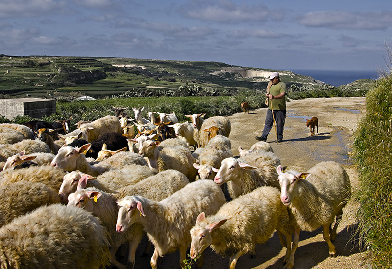 A walk in the green, along the cliffs, through a herd of sheep up to the salt pans will be as relaxing as recharging for mind and soul © Clive Vella
